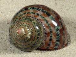 Turbo petholatus PH 5,3cm *Unikat*