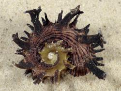 Angaria melanacantha m/O PH 4,8cm *Unikat*