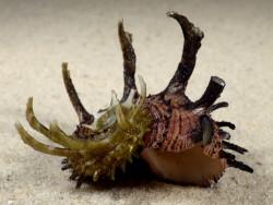 Angaria melanacantha PH 5,2cm *Unikat*