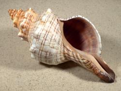 Pleuroploca trapezium 20,5cm *Unikat*