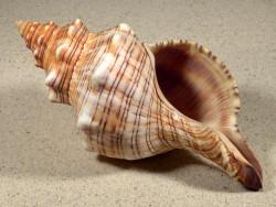 Pleuroploca trapezium 18,5cm *Unikat*