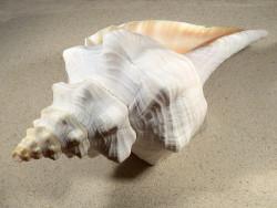 Triplofusus giganteus 31cm Unikat