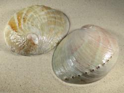 Haliotis laevigata AU 14,5+cm