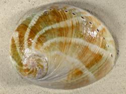 Haliotis laevigata AU 15,2cm *Unikat*