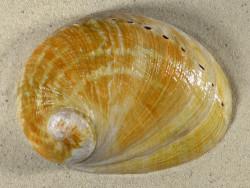 Haliotis laevigata AU 14,9cm *Unikat*