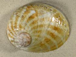 Haliotis laevigata AU 14,4cm *Unikat*
