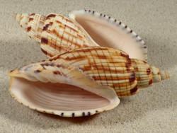 Callipara kurodai dunkel VN 9+cm