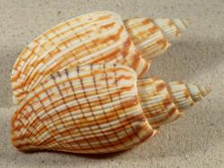 Callipara kurodai hell VN 9,5+cm