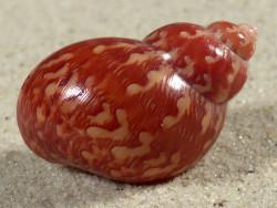 Phasianella ventricosa AU 3,1cm *Unikat*
