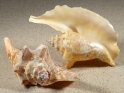 Lobatus gallus 10,5+cm