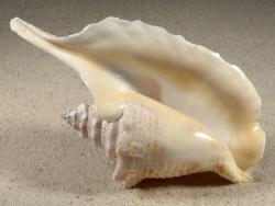 Lobatus gallus 13,4cm *unique*