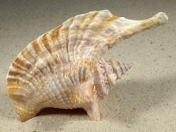 Lobatus gallus 12,6cm *Unikat*