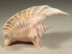 Lobatus gallus 13,5cm *Unikat*
