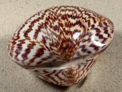 Glycymeris sp. poliert 6+cm