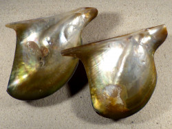 Pteria penguin Perlmutt 1/2 12,5+cm