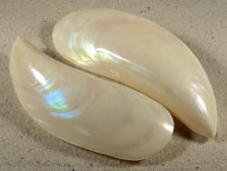 Perna viridis Perlmutt 10+cm
