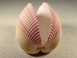 Maoricardium pseudolima 11,1cm *Unikat*