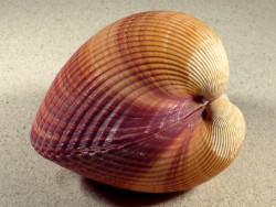 Maoricardium pseudolima 11cm *Unikat*