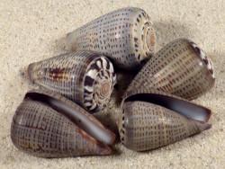 Conus glaucus PH 3+cm