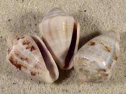 Conus coronatus PH 3+cm