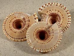 Architectonica trochlearis 5+cm