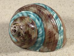 Turbo imperialis m/Perio-Streifen 8+cm