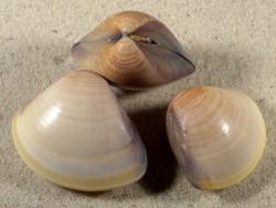 Meretrix meretris beige PH 4,5+cm