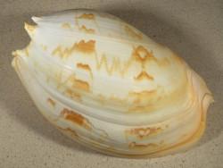Melo umbilicatus ID 23,3cm *Unikat*