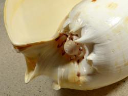 Melo umbilicatus ID 23,5cm *Unikat*