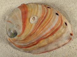 Haliotis rufescens 12,2cm *unique*