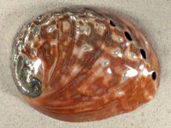 Haliotis rufescens poliert MX 15,5cm *Unikat*