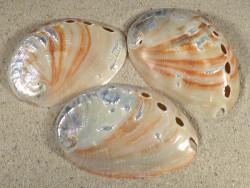Haliotis rufescens weiß poliert 6,5+cm