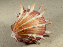 Spondylus sinensis PH 10,2cm *Unikat*