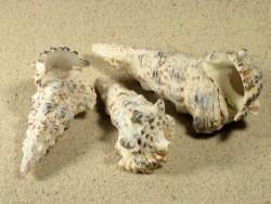 Cerithium nodulosum 6,5+cm