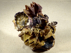 Lopha cristagalli Cluster PH 20,5cm *Unikat*