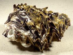 Hyotissa hyotis PH 15cm *Unikat*