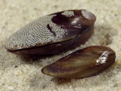 Mytilus trochulus LT 1,4+cm