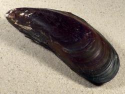Perna viridis PH 11,8cm *Unikat*