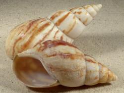 Achatina reticulata TZ 10+cm