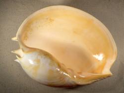 Melo umbilicatus ID 30,5cm *Unikat*