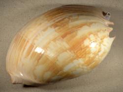 Melo umbilicatus ID 31cm *Unikat*
