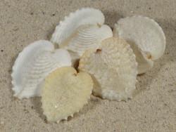Corculum cardissa PH 2,5+cm