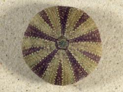 Tripneustes gratilla *farbig* PH 4,8cm *Unikat*