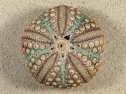 Echinothrix calamaris PH 6,6cm *Unikat*