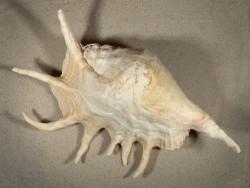 Lambis truncata freak KE 35,5cm *Unikat*