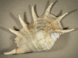 Lambis truncata KE 33,5cm *Unikat*