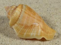 Gibberulus gibberulus albus EG 4,9cm *Unikat*