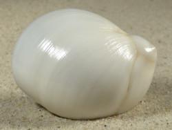 Polinices mammilla m/O EG 5,2cm *Unikat*
