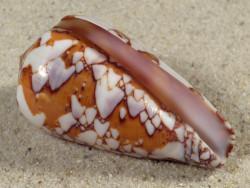 Conus behelokensis MG 4,8cm *Unikat*