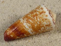 Conus thalassiarchus PH 4,8cm *Unikat*